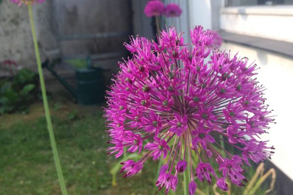 prydløg, Allium, Purple Sensation