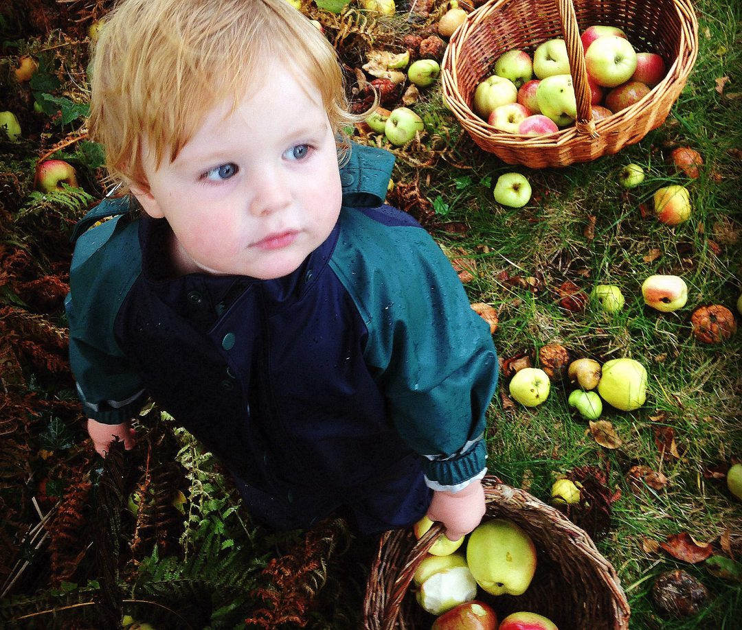dreng høster æbler. Æblehøst